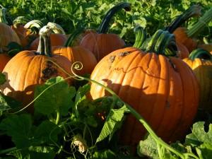pumpkin puree recipe, pumpkin seed recipe