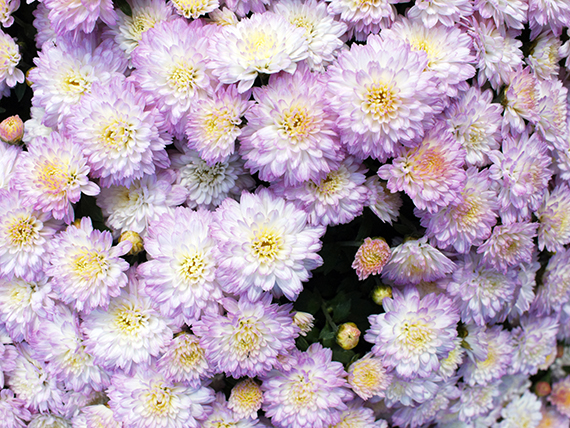fall flowers | Maryland | Westminster | Hampstead | New Windsor | Mt Airy | Frederick